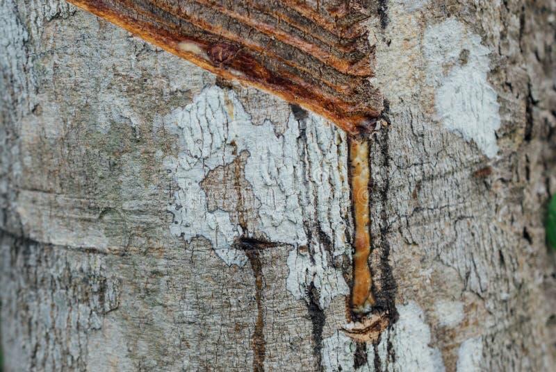 Конец-вверх резинового латекса извлеченного от резинового дерева стоковое фото rf