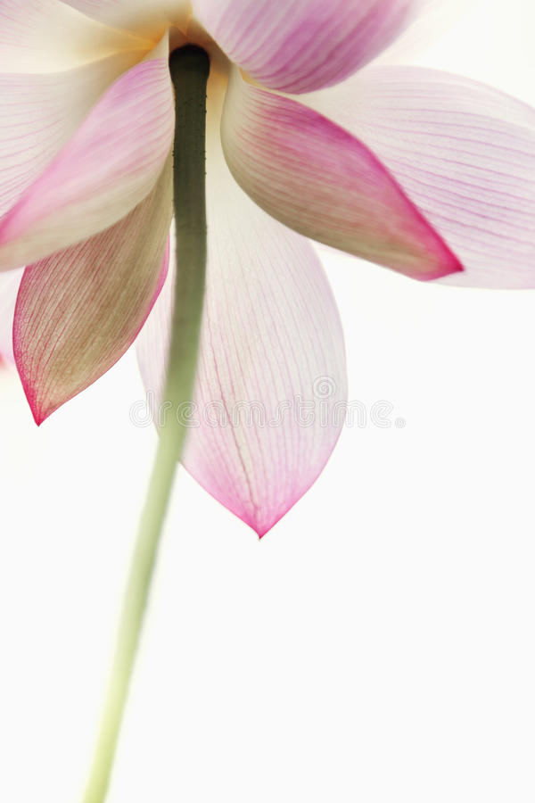 Конец-вверх розового цветка лотоса, Китая стоковые изображения rf