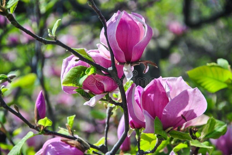 Конец-вверх розовой магнолии цветет на завтрак-обеде на ботаническом саде стоковые фотографии rf