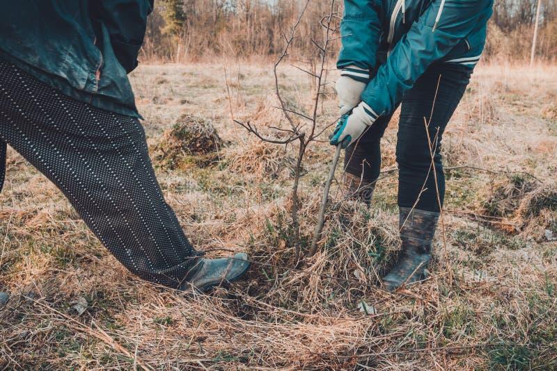 Конец-вверх, садовники весной пробует извлечь сухое дерево, вытягивая вне свои корни с лопаткоулавливателем в большой сухой траве стоковое фото