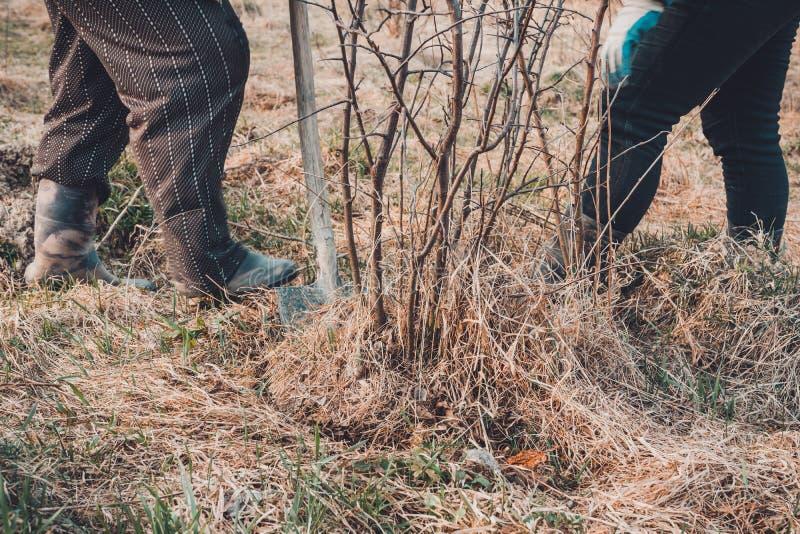 Конец-вверх, садовники весной пробует извлечь сухое дерево, вытягивая вне свои корни с лопаткоулавливателем в большой сухой траве стоковое фото rf