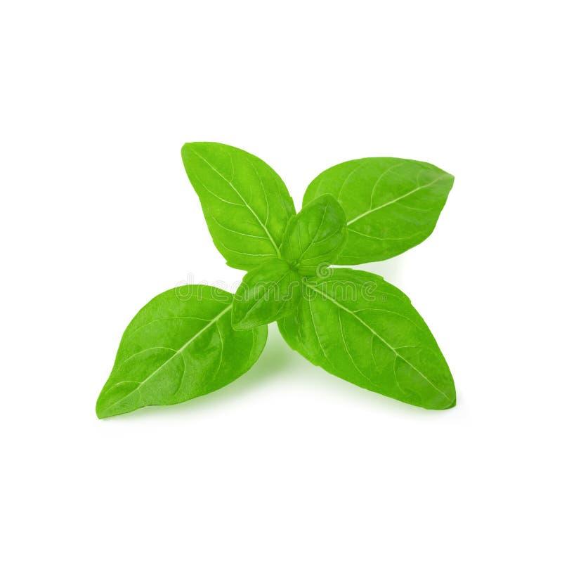 Конец вверх свежих зеленых листьев травы базилика изолированных на белой предпосылке Сладостный генуэзский базилик стоковые фотографии rf