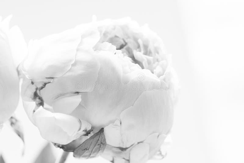Конец-вверх свежих цветков пиона в черно-белом стоковое фото