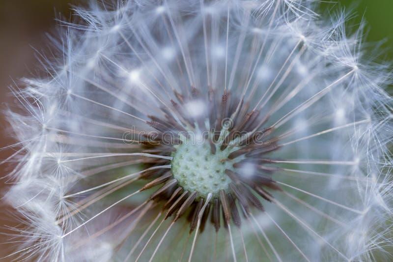 Конец вверх семени одуванчика сопит с запачканной предпосылкой стоковое изображение rf