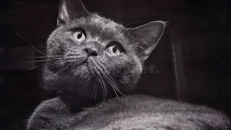 Конец-Вверх серого кота, милый момент породы британцев Shorthair кота, абстрактная текстура, год сбора винограда текстурировал фо стоковое фото