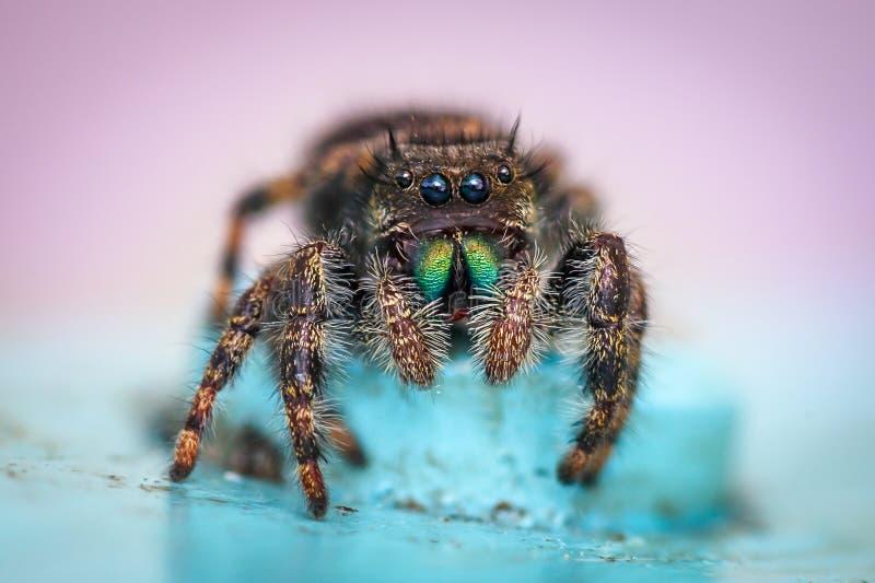 Конец-вверх скача паука стоковое изображение