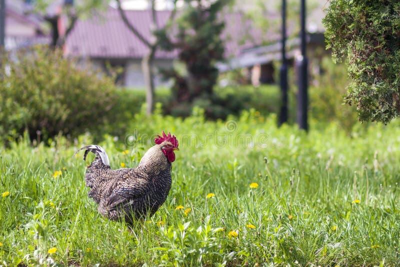 Конец-вверх славной большой, который выросли серой курицы стоя в высокой свежей траве стоковые изображения rf