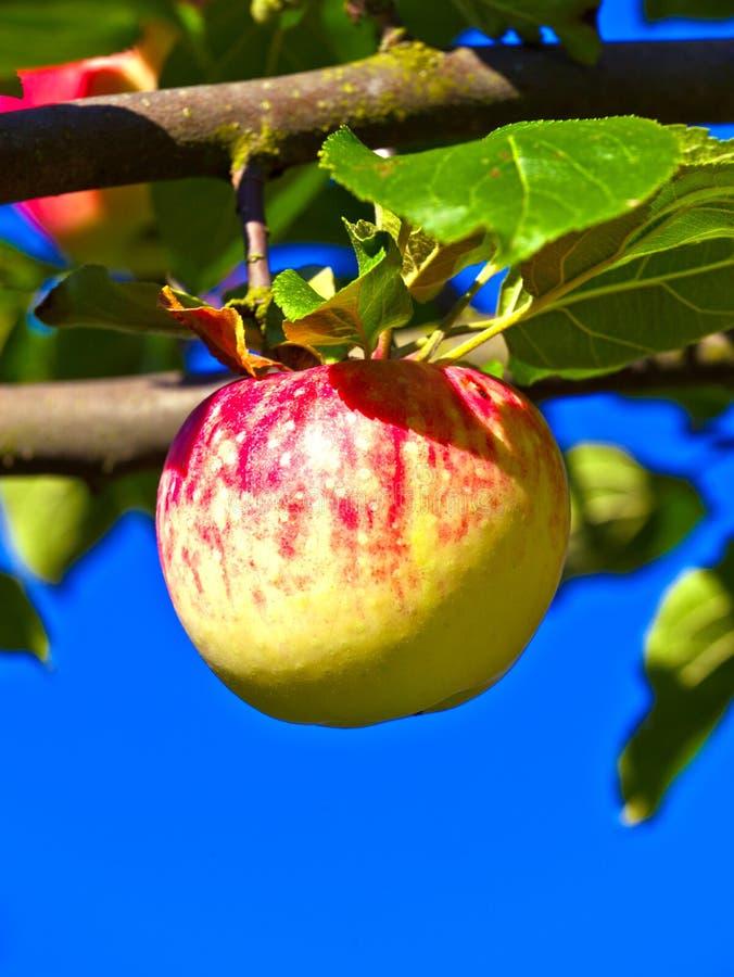 Download Конец-вверх смертной казни через повешение яблока в дереве Стоковое Изображение - изображение насчитывающей диетпитание, здорово: 40588625