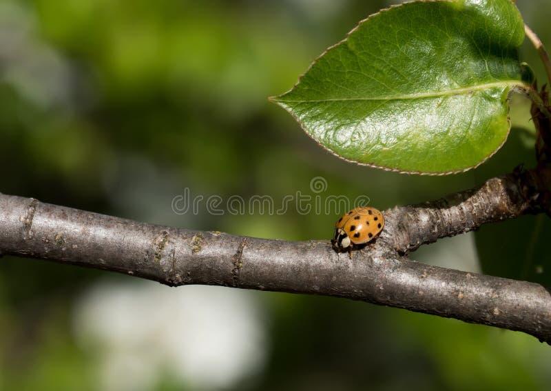 Конец вверх снял ladybug на ветви дерева стоковые изображения