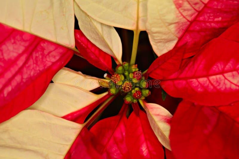 Конец-вверх снятый Poinsettia, cristmas цветет стоковое изображение