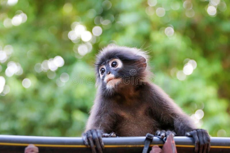 Конец-вверх стороны обезьяны или Dusky Langur с зеленой природой стоковые фото