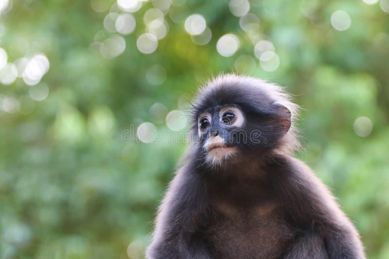 Конец-вверх стороны обезьяны или Dusky Langur с зеленой природой стоковое фото