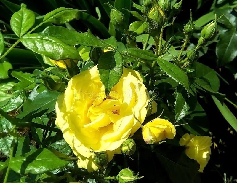 Конец-вверх с желтыми розами, бутонами и зелеными листьями на темной предпосылке стоковая фотография