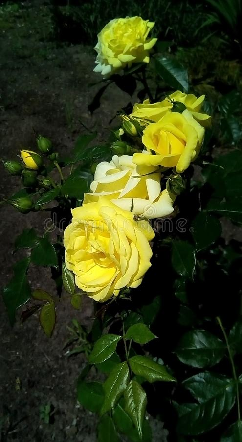 Конец-вверх с желтыми розами, бутонами и зелеными листьями на темной предпосылке стоковые фото