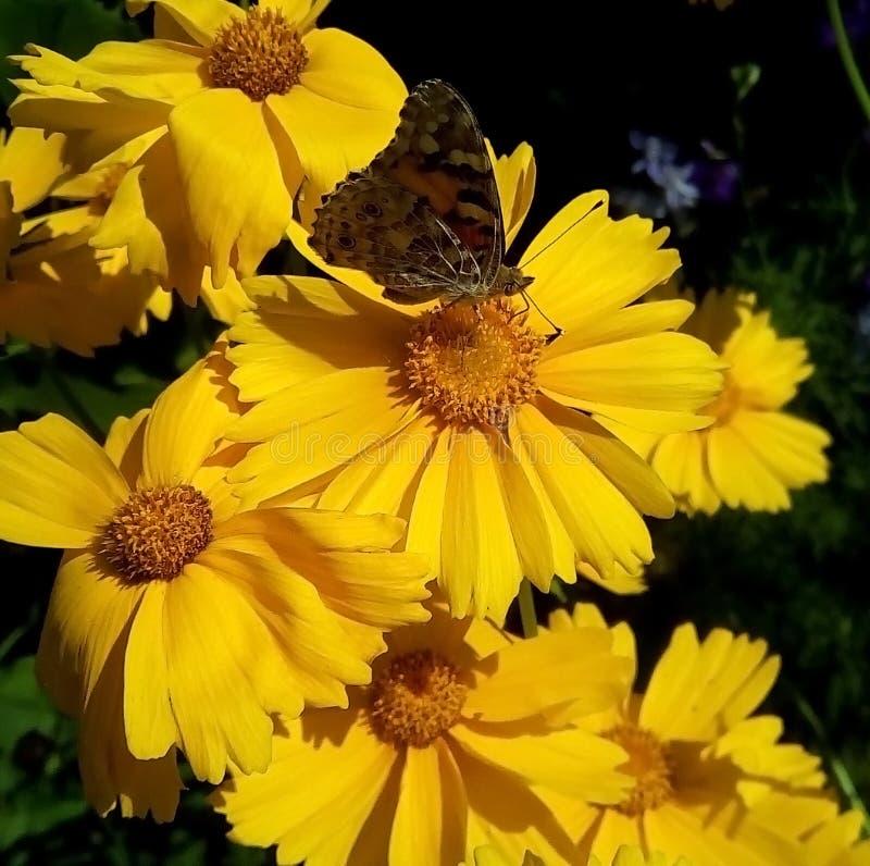 Конец-вверх с желтыми цветками и бабочкой на темной предпосылке стоковое изображение rf
