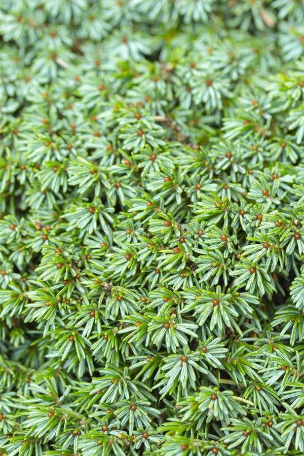 Конец-вверх текстуры предпосылки цвета вечнозеленого coniferous Juniperus можжевельника яркий ый-зелен стоковые изображения rf