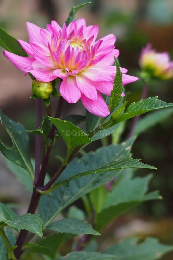 Конец-вверх темных розовых цветков на деревьях со свежими зелеными листьями стоковое изображение