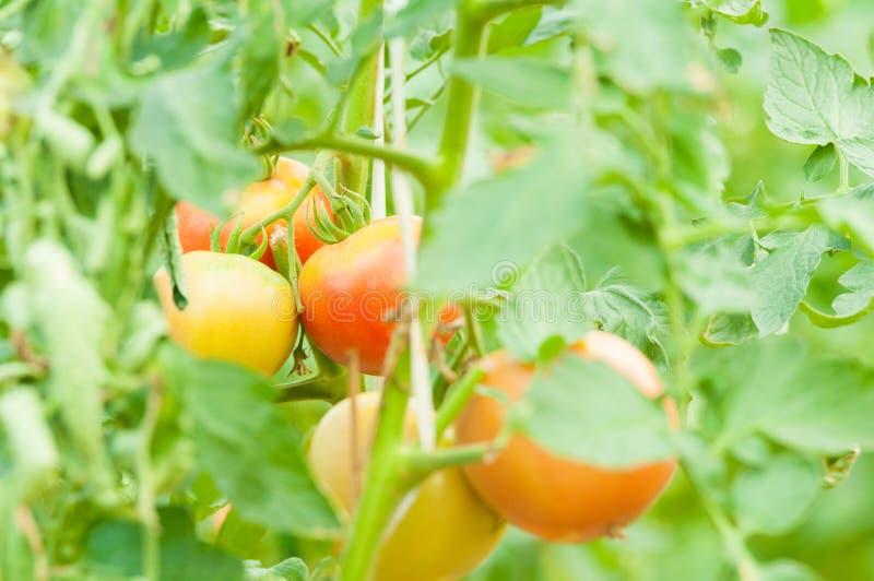 Конец-вверх томата запруживает на концепции земледелия eco стоковые фото