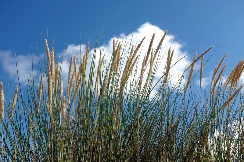 Конец-вверх травы marram arenaria Ammophila стоковое фото rf