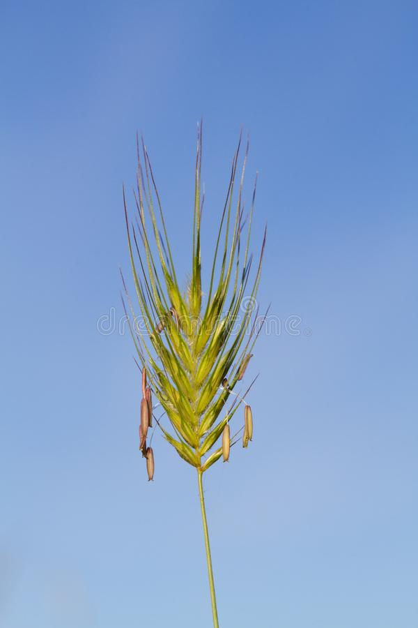 Конец-вверх уха травы стоковая фотография rf