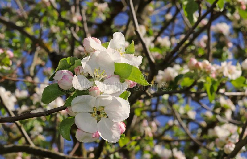 Конец-вверх цветений пинка и белых яблока стоковые фото