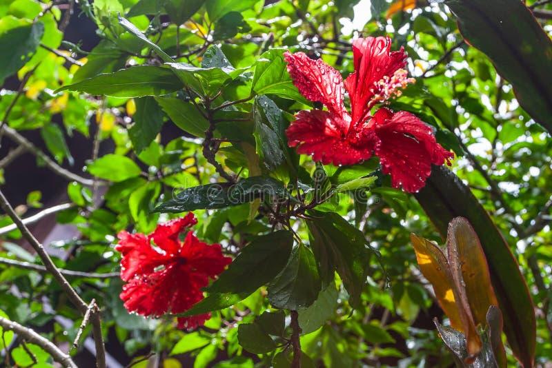 Конец-вверх цветка гибискуса на зеленой предпосылке стоковые фотографии rf