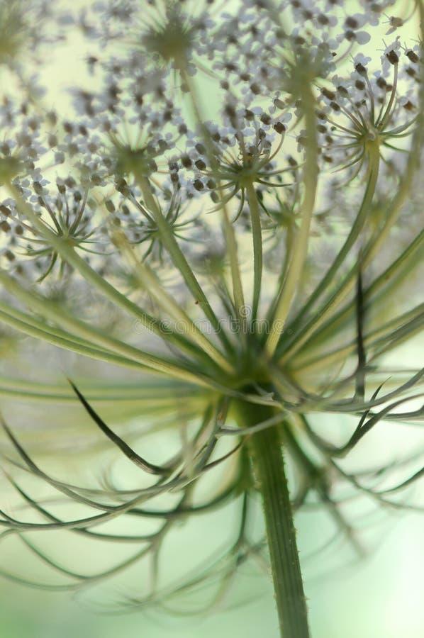 Конец-вверх цветка дикой моркови стоковое фото