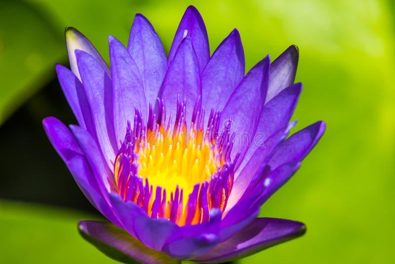 Конец-вверх цветка лотоса фиолетовый стоковые фотографии rf