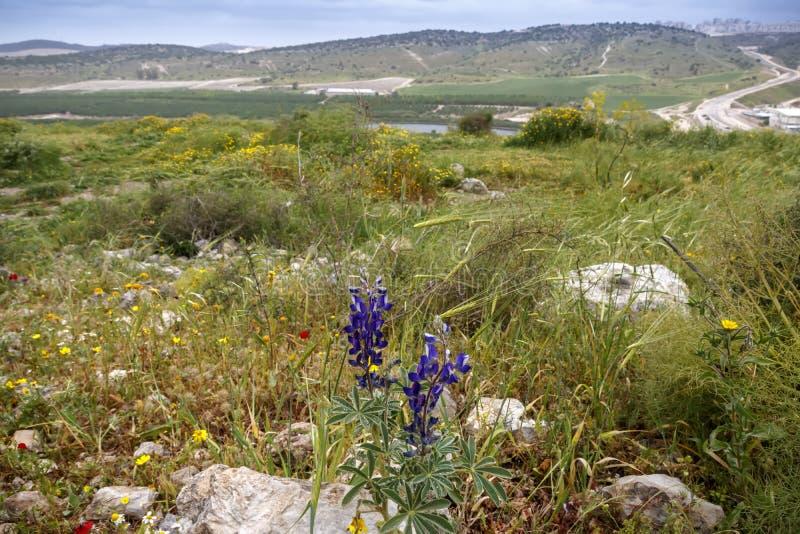 Конец-вверх цветка Bluebonnet зацветая Долина и холмы стоковые изображения rf