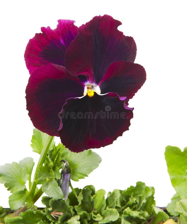 Закройте вверх цветка pansy стоковое фото rf