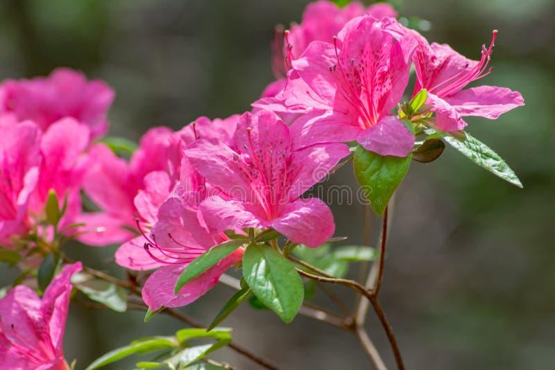 Конец-вверх цветков азалии пинка группы стоковые изображения
