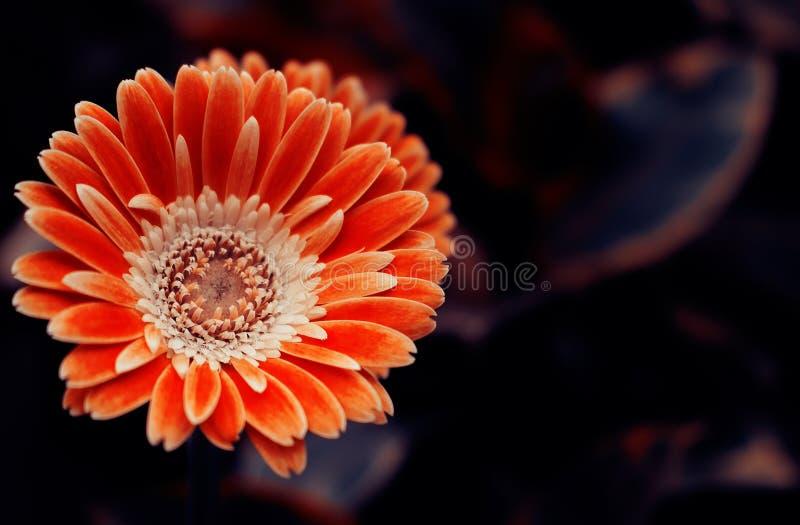 Конец-вверх цветков оранжевых gerbera на темной предпосылке стоковая фотография rf