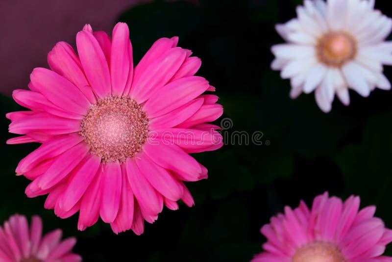 Конец-вверх цветков розовых gerbera на темной предпосылке стоковое фото