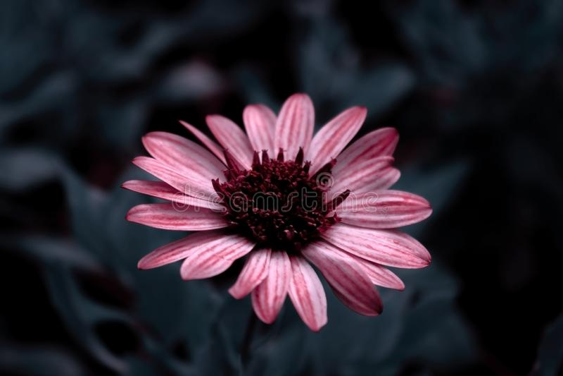 Конец-вверх цветков розовых gerbera на темной предпосылке стоковая фотография rf