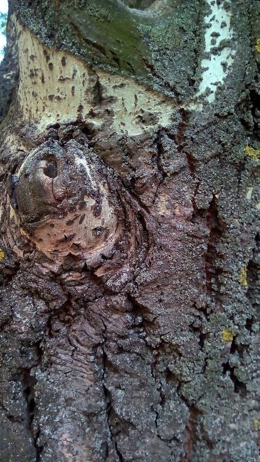 Конец-вверх части хобота старого тополя стоковое изображение rf