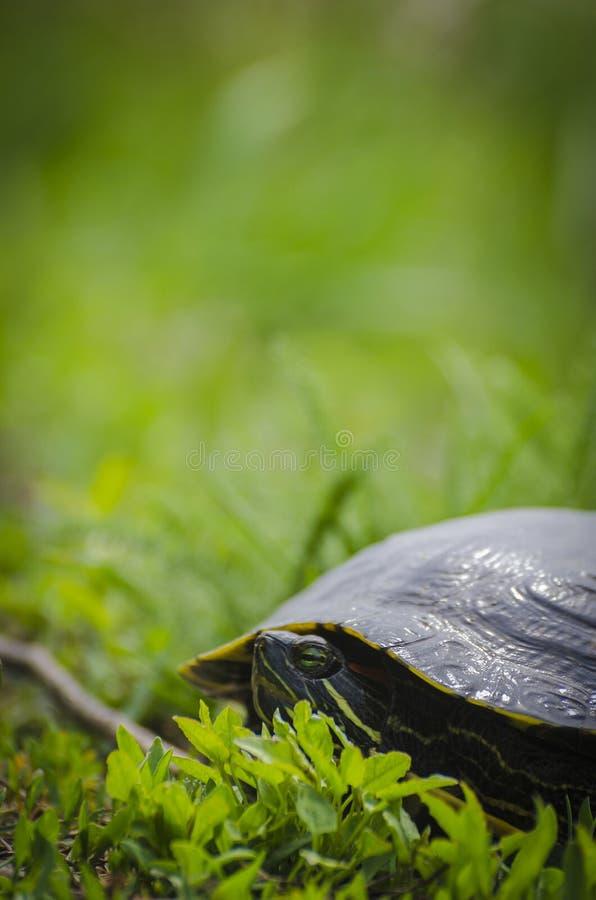 Конец-вверх черепахи в зеленой траве стоковое фото rf