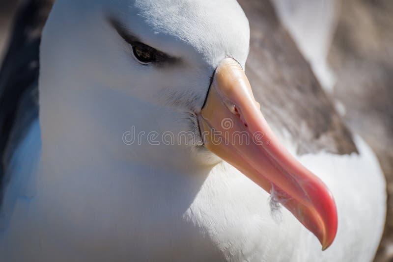 Конец-вверх черно-browed альбатроса сидя на гнезде стоковые фотографии rf