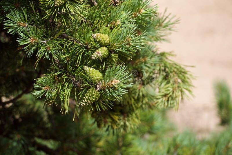 Конец-вверх ярких ых-зелен ветвей сосны с зелеными текстурированными конусами стоковое изображение rf
