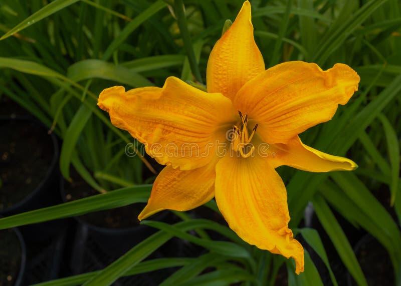Конец вверх яркой желтой дикой лилии, цветень можно увидеть, против зеленой предпосылки листвы стоковое изображение rf