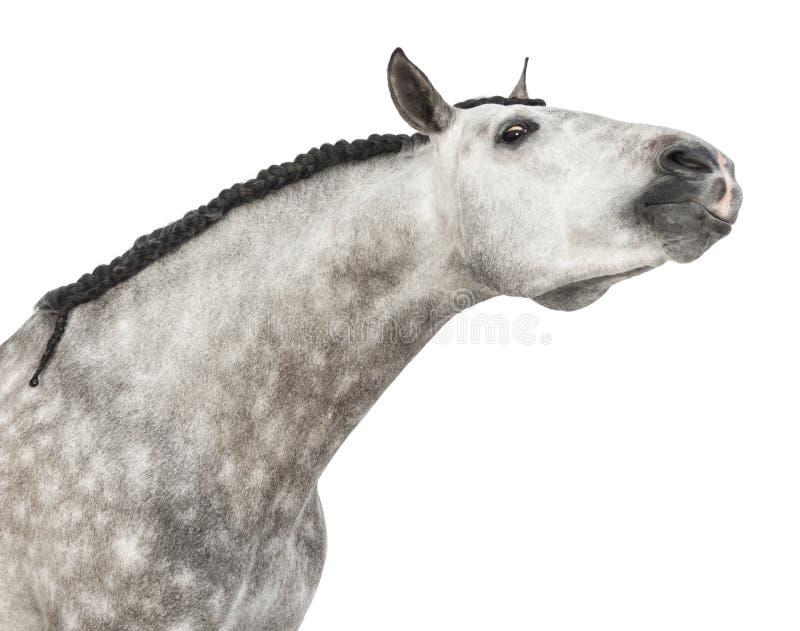Конец-вверх Andalusian головки, 7 лет старых, протягивая свою шею, также известную как чисто испанская лошадь или PRE стоковое изображение