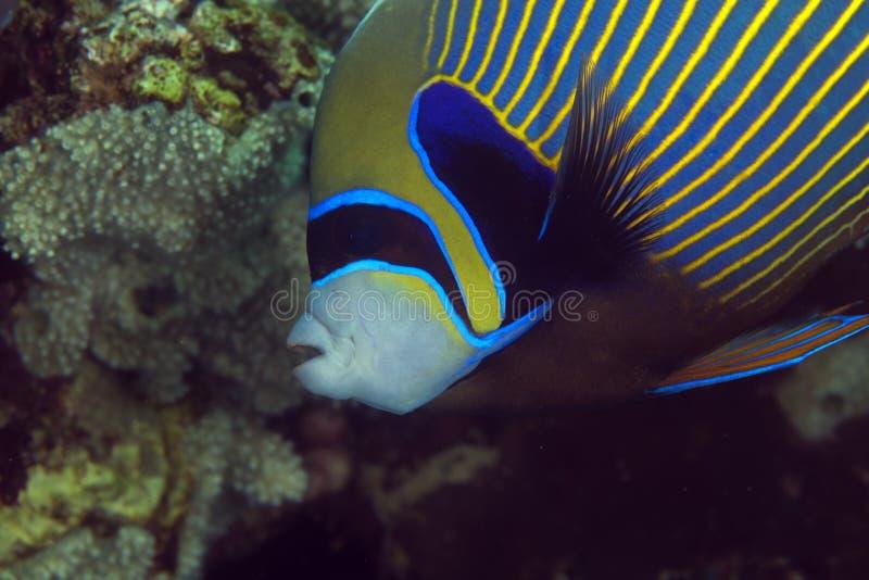 Конец-вверх angelfish императора (imperator pomacanthus). стоковая фотография