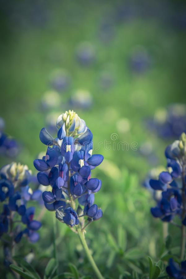 Конец-вверх Bluebonnet цветок положения Техаса, США стоковая фотография