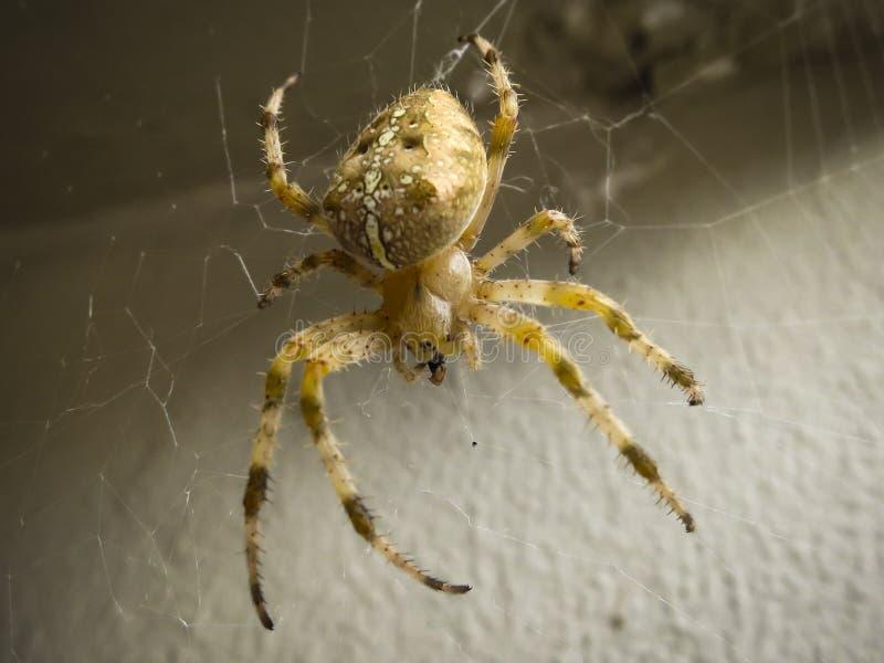 Конец-вверх diadematus Araneus паука стоковое изображение rf