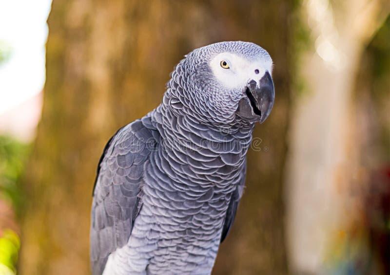 Конец-вверх jaco попугая серый смотрит с подозрением на запачканной предпосылке стоковая фотография rf