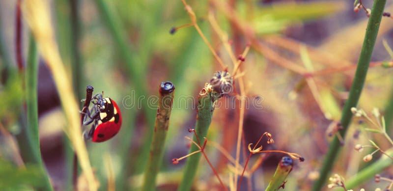 Конец-вверх ladybug и травы стоковые изображения