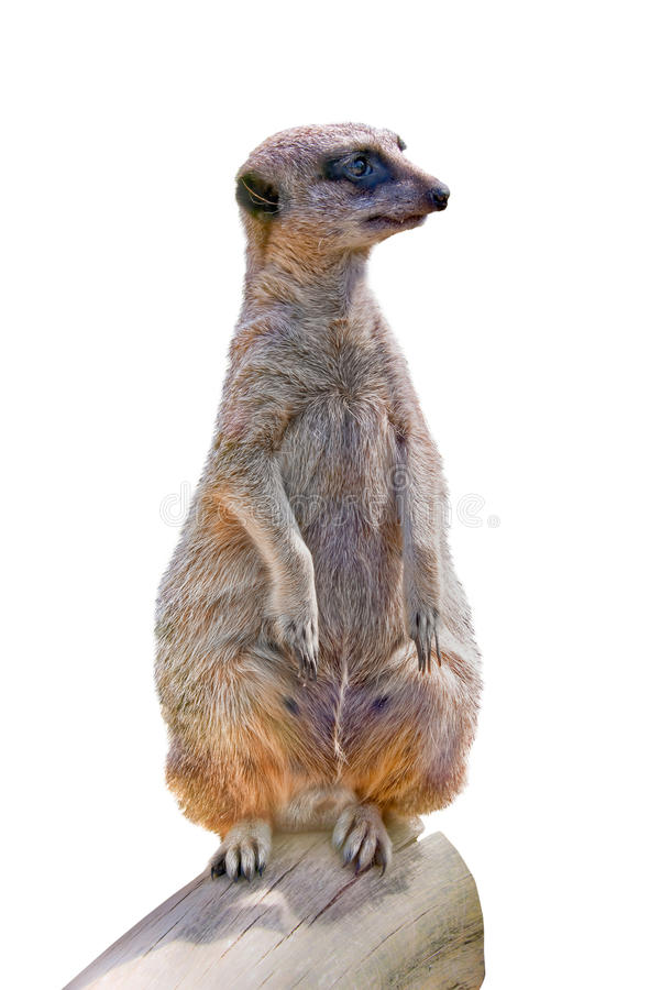 Конец-вверх Meerkat (suricate) стоковые фото