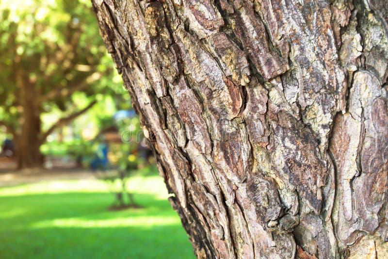 Конец-вверх saman Samanea коры дерева дождя с солнечным светом и лужайкой Селективный фокус на переднем плане против предпосылки  стоковые изображения