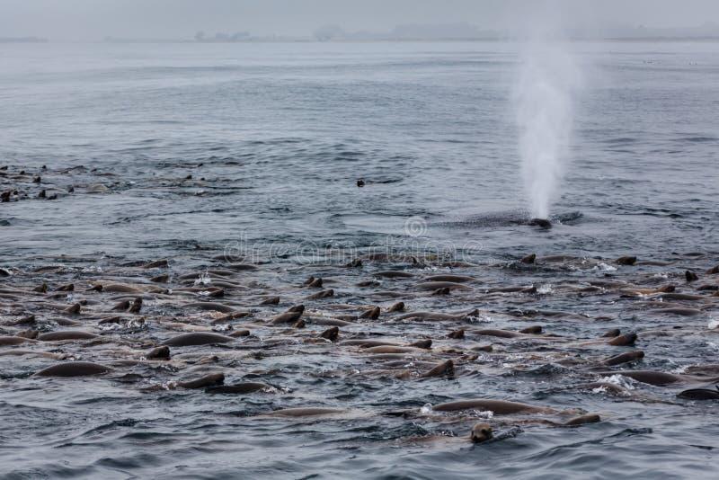 Конец-вверх spout кита в стручке морсого льва середины стоковые изображения rf