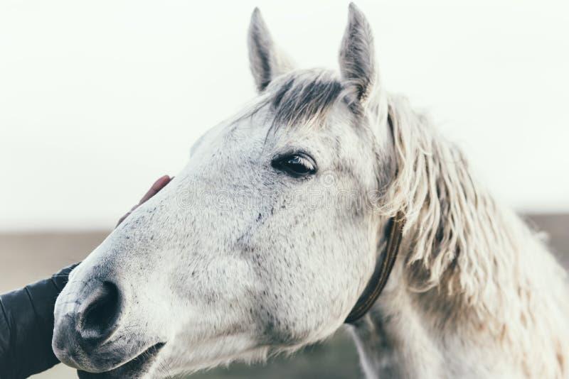 Конец головы белой лошади вверх по животному и людям образа жизни руки касающим стоковые изображения