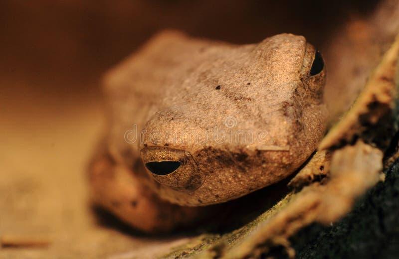 Конец головы древесной лягушки вверх стоковые изображения rf